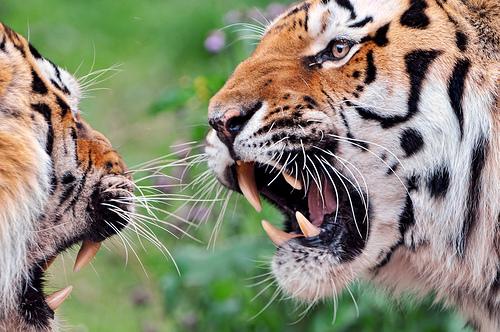 tigre wikimini lencyclop233die pour enfants