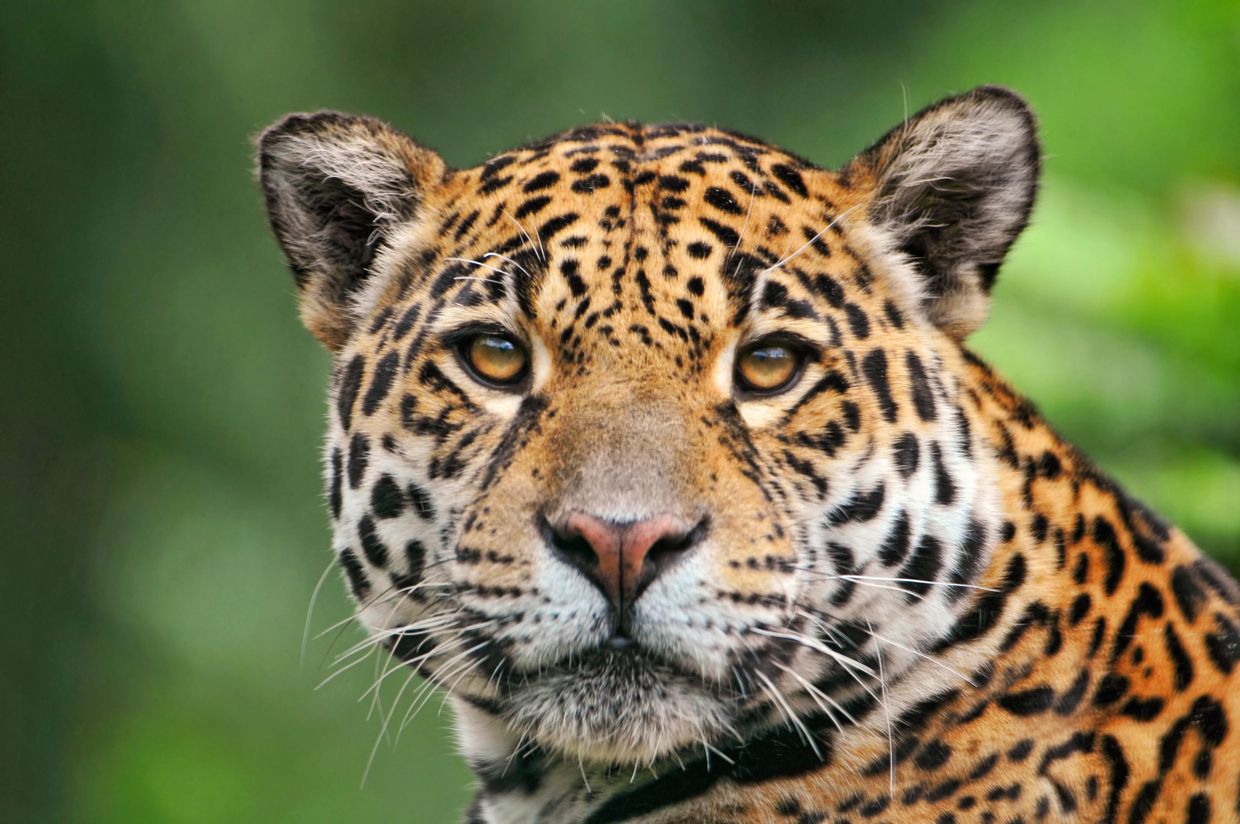 jaguar animal wikimini l 39 encyclop die pour enfants. Black Bedroom Furniture Sets. Home Design Ideas