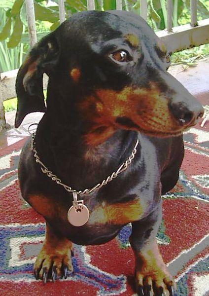 Black Weiner Dog Puppies