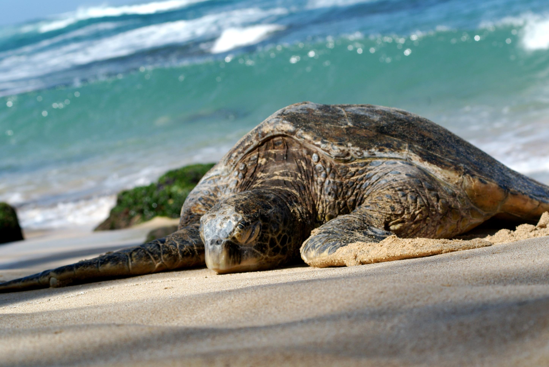 Tortue marine wikimini l 39 encyclop die pour enfants - Images tortue ...
