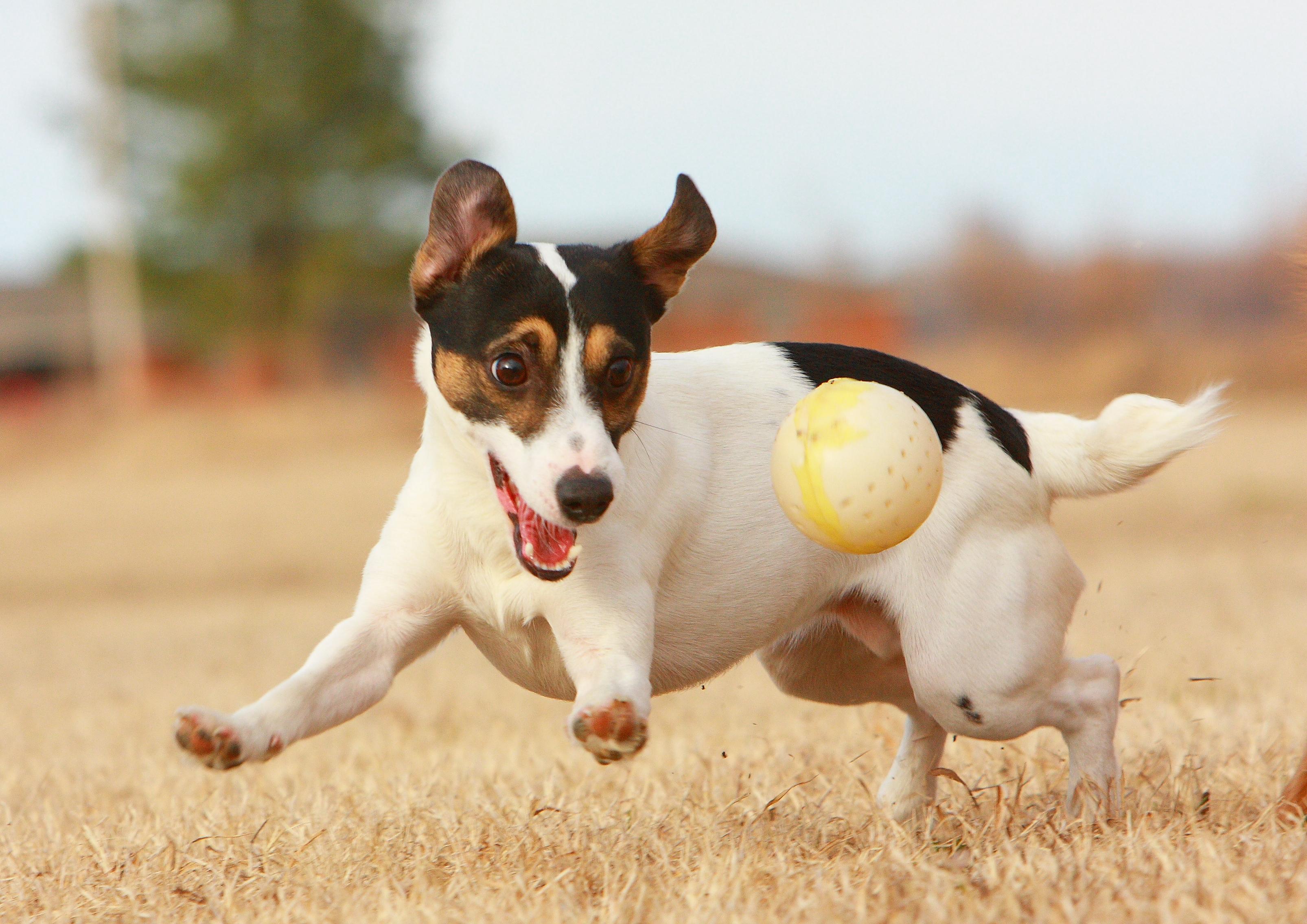 Un jack russel terrier essaie d attraper une balle