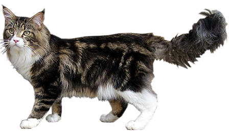 Maine Coon Dog Friendly