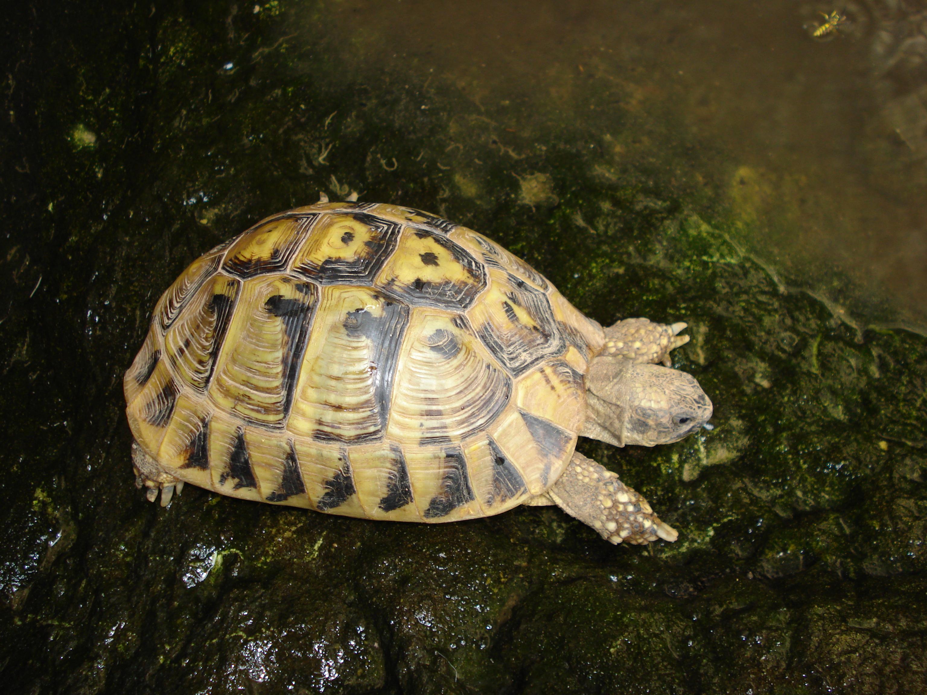 Tortue wikimini l 39 encyclop die pour enfants - Images tortue ...