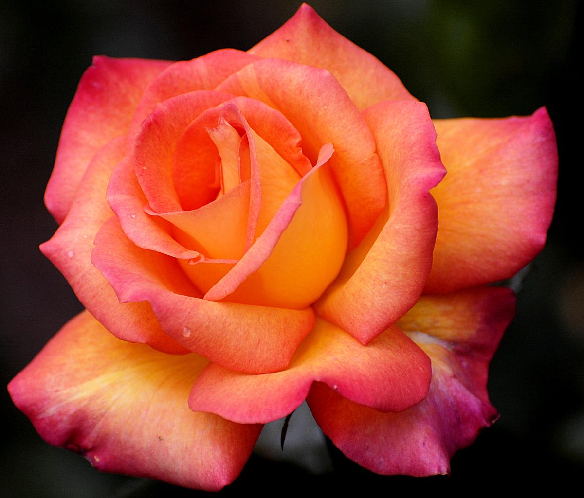 rose fleur wikimini l 39 encyclop die pour enfants. Black Bedroom Furniture Sets. Home Design Ideas