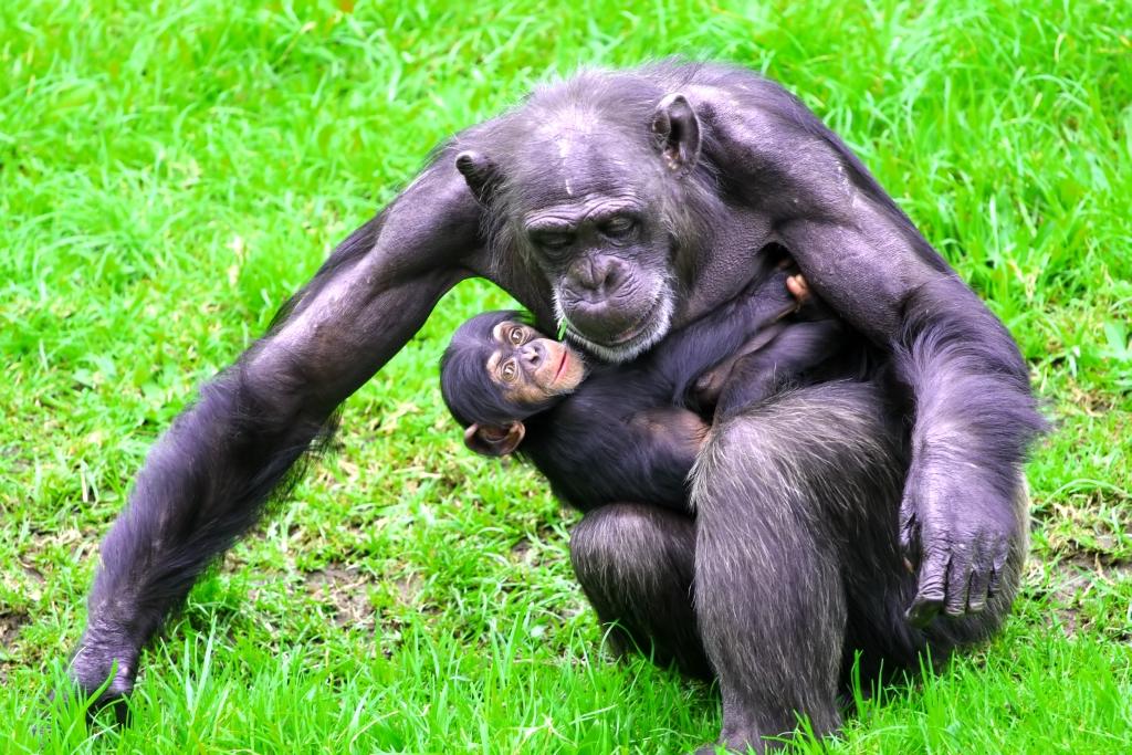 http://stock.wikimini.org/w/images/e/e2/Chimpanz%C3%A9_m%C3%A8re_et_enfant-2272.jpg