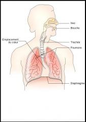 Fichier:Appareil respiratoire.JPG