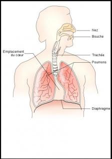 Appareil respiratoire.JPG