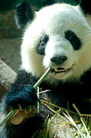 Panda géant-geant-bambous-1543.jpg
