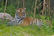Tigre du Bengale-1993.jpg