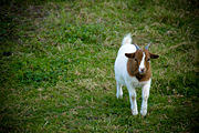 Petite chèvre-5295.jpg
