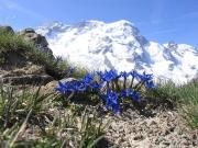 Gentiane-Sommet Breithorn-Alpes suisses.jpg