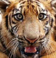 Le tigre-7947.jpg