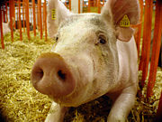 Porc-Cochon domestique-1400.jpg