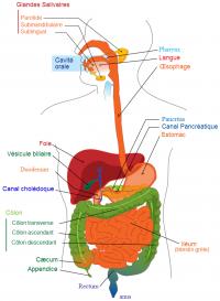 Système-digestif-Schéma digestion.png