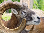 Mouflon-2144.jpg