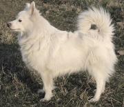 Spitz allemand (chien).jpg