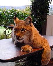 Lynx roux-2934.jpg