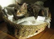 Un chat domestique dans son panier
