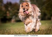 Stock-photo-running-english-cocker-spaniel-733018798.jpg