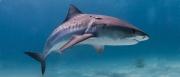 Requin renard.jpg