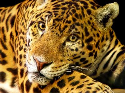 Jaguar (Panthera onca)-4253.jpg