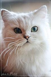 Chat blan wikimini-2639.jpg