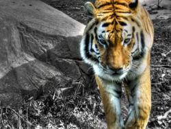 Tigre-9382.jpg