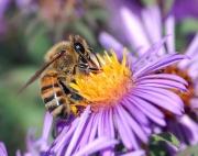 Abeille à miel prélevant du nectar