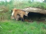 Loup à crinière 2.jpeg