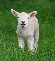 Petit agneau.jpg
