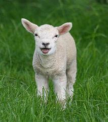 Fichier:Petit agneau.jpg
