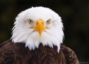 Aigle américain-3686.jpg