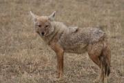 Chacal doré (Canis aureus)-Chacal commun.jpg