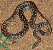 Python tacheté (Antaresia maculosa)
