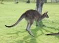 Kangourou-saute-9311.jpg