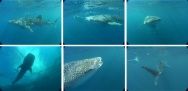 Planche d'images de requins baleines