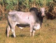 Un zébu, boviné originaire d'Asie