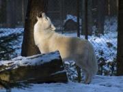 Loup arctique-Loup polaire-Loup blanc-2318.jpg