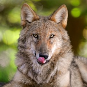 Loup qui a faim-879.jpg