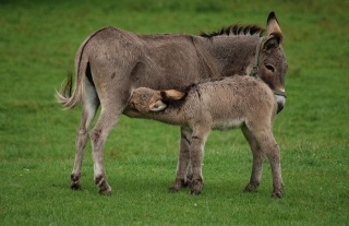 File:Donkey (Equus asinus)-mother and baby.jpg