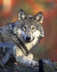 Fichier:Loup gris (Canis lupus).jpg