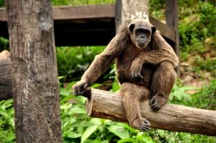 Chimpanzé-43.jpg