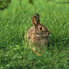 Fichier:Lapins dans l'herbe.jpeg