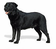 Labrador retriever 4d79.jpg
