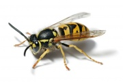 Guêpe germanique, aussi appelée «guêpe européenne»: On y voit bien les trois parties du corps de l'insecte.