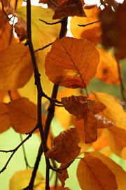 Hêtre européen-hetre-arbre-feuille simple-rameaux-3764.jpg