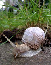 Escargot de bourgogne-4972.jpg