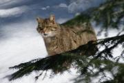Le chat sauvage (qui existe encore) est l'ancêtre du chat domestique.