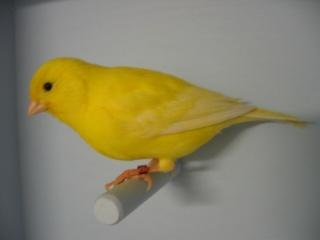 Fichier:Canari jaune lipochrome intensif.jpg