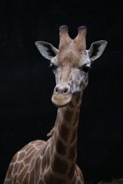 La girafe 1-1309.jpg